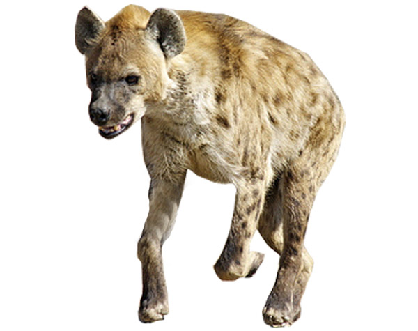 Hyena Virtual Zoo Akidssite Com
